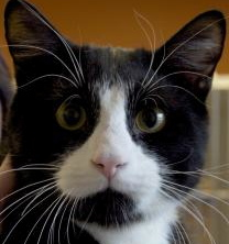 Boots, a young, mid-sized, domestic, short-haired cat, would like to be your Valentine.