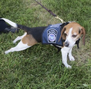 A beagle from U.S. Customs eagerly awaits its turn for a demonstration.