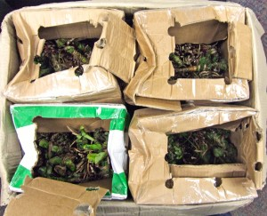 Packages containing khat get intercepted by federal agents at the international express courier facility near Philadelphia International Airport on Friday, March 7.                              Photo courtesy of U.S. Customs and Border Protection