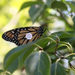 tyler butterfly