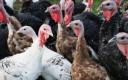 Turkeys-300x228.jpg