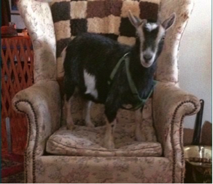 The Pocopson Board of Supervisors agreed Monday night to designate Penelope the goat — a pygmy goat — as a family pet, not livestock, of a Bragg Hill Road family.