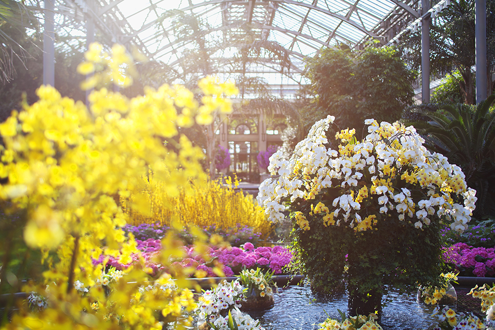 Orchid Extravaganza Kicks Off Jan 20 At Longwood Gardens The Unionville Times