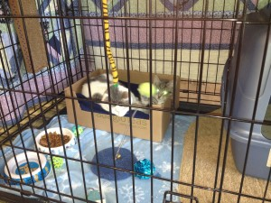 Toys, a comfy box, food, and water help keep these kittens waiting for a permanent home content.
