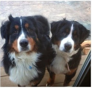 A Chester County Court jury must decide whether a West Vincent Township resident was justified in shooting Argus and Fiona, his neighbors' pet Bernese mountain dogs.