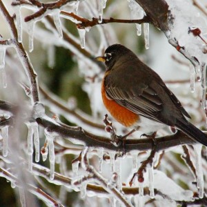 Like many Chester County residents, this robin is likely hoping the next batch of nasty weather won't include ice. Photo by Dave Lichter