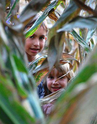 corn maize 1
