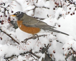 Robin in Snow Plain by Bobby Wolf