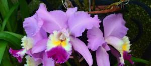 longwood orchid
